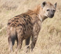 the hyena after eating albert Ngorongoro Crater, Arusha, East Africa, Tanzania, Africa