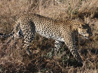 big_five-leopard