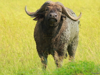 070925161817_view--cape_buffalo_in_murchison_falls