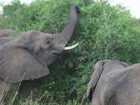 elephants of murchison falls reaching for food Murchison Falls, East Africa, Uganda, Africa