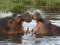071004075235_view--kissing_hippopotamus
