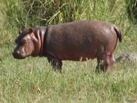 view--billy the pygmy hippo Murchison Falls, East Africa, Uganda, Africa