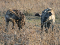 hyena fighting Serengeti, Ngorongoro, East Africa, Tanzania, Africa