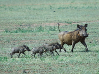 warhogs_of_serengeti