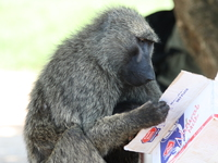 reading baboon Murchison Falls, East Africa, Uganda, Africa