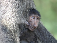 view--breast feeding the baby baboon Murchison Falls, East Africa, Uganda, Africa