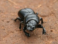 view--dung beetle Mtae, Ushoto, East Africa, Tanzania, Africa