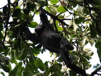 chimpanzee_of_budongo