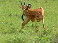 view--hartebeest kissing his butt Murchison Falls, East Africa, Uganda, Africa