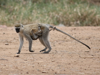 vervet monkey mother and baby Mwanza, East Africa, Tanzania, Africa