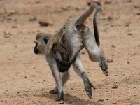 view--vervet monkey mother escape Mwanza, East Africa, Tanzania, Africa