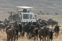 surrounded by wildebeest Ngorongoro Crater, Arusha, East Africa, Tanzania, Africa