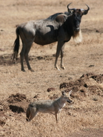 golden jackal and wildebeest Ngorongoro Crater, Arusha, East Africa, Tanzania, Africa