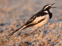 070928182643_view--african_pied_wag_tail