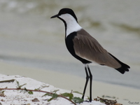 070929125350_view--blacksmith_lapwing