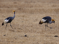 crowned crane Ngorongoro Crater, Arusha, East Africa, Tanzania, Africa