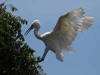 view--egret land on tree Jinja, East Africa, Uganda, Africa