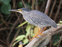 view--night heron Jinja, East Africa, Uganda, Africa