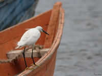 view--egret on orange boat Bugala Island, East Africa, Uganda, Africa