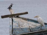 view--cattle egret and pied king fisher Bugala Island, East Africa, Uganda, Africa