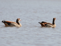 egyptian_geese