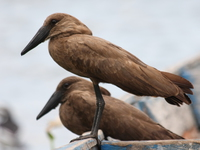 view--hammerkop husband and wife Bugala Island, East Africa, Uganda, Africa