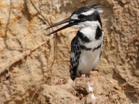 view--pied kingfisher against a cliff Murchison Falls, East Africa, Uganda, Africa