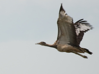 070925162055_flying_kori_bustard