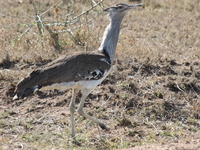 071003084255_female_kori_bustard