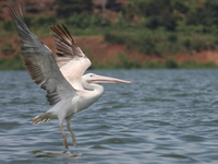 070923111417_flying_pelican