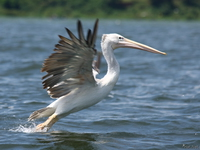 view--pelican take off Jinja, East Africa, Uganda, Africa