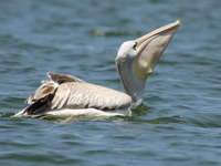 070923130849_pelican_swallow_fish