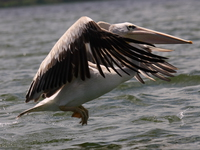 070923130924_pelican_flying