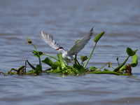 view--river tern takes off Kisumu, East Africa, Kenya, Africa