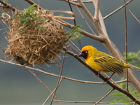 black-headed weaver Bugala Island, East Africa, Uganda, Africa