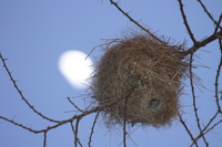 weaver nest and the moon Serengeti, Ngorongoro, East Africa, Tanzania, Africa