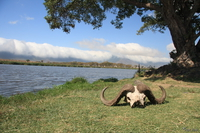 071004094534_view--buffalo_skull_at_ngorongoro_spring