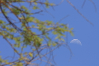 moon on branches Ngorongoro Crater, Arusha, East Africa, Tanzania, Africa
