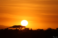 view--sunrise and acacia tree Serengeti, Ngorongoro, East Africa, Tanzania, Africa