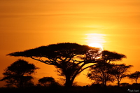 view--sunrise behind the acacia tree Serengeti, Ngorongoro, East Africa, Tanzania, Africa
