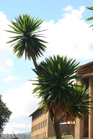 dragon palm tree Rawangi, East Africa, Tanzania, Africa