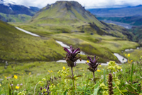 fimmvorduhals purple flowers South,  Iceland, Europe