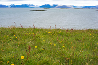 Hofn Glacier flowerfield Snafellsjokull,  East,  Iceland, Europe