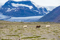 Hofn Offroad Glacier sheep family Snafellsjokull,  East,  Iceland, Europe
