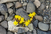 20160728130219_Hofn_Offroad_Glacier_yellow_flowers