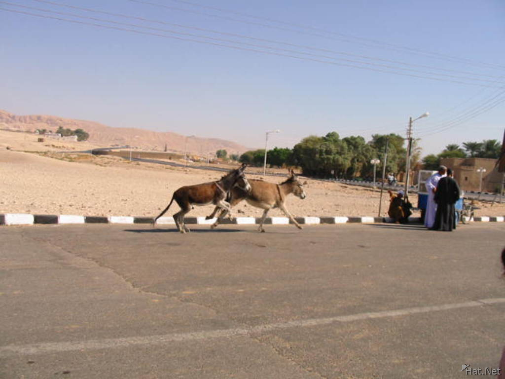valley of the king-racing donkeys