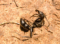 dead tiger ant Puerto Igua�u, Salta, Misiones, Salta and Jujuy Province, Argentina, South America