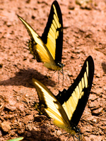 butterfly couple Puerto Igua�u, Salta, Misiones, Salta and Jujuy Province, Argentina, South America