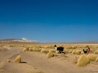 view--herding llama Tupiza, Potosi Department, Bolivia, South America