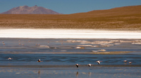 flamingos in laguna morejon San Antonio, Potosi Department, Bolivia, South America